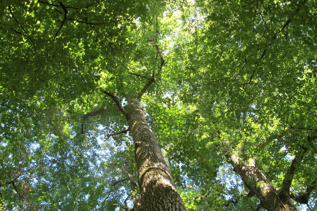 Canopée depuis une cabane dans les arbres